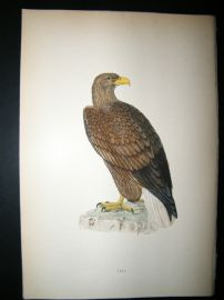 Morris 1870 Antique Hand Col Bird Print. Erne